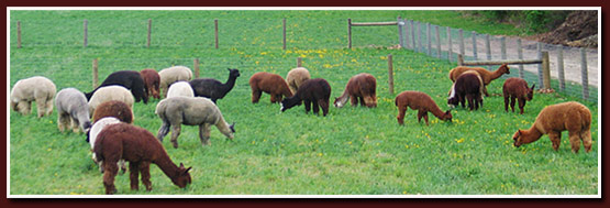 alpacas in the field